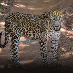 Sri Lankan Endemic Leopard - Panthera Pardus Kotiya