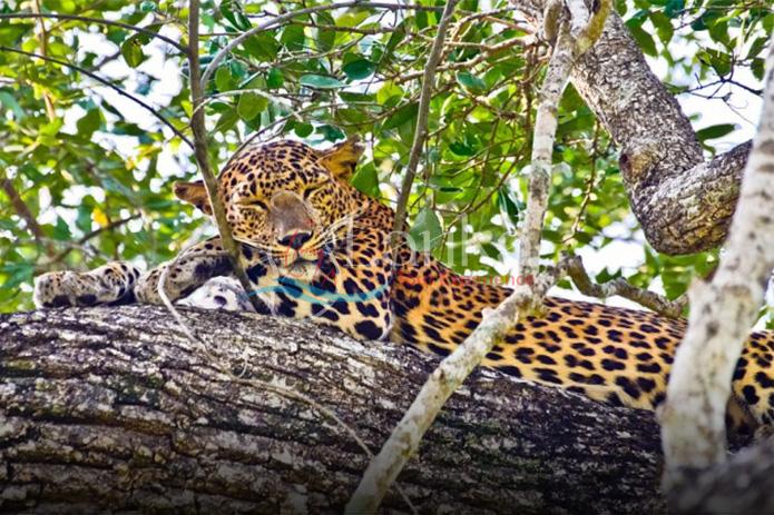 Sri Lankan Endemic Leopard - Panthera Pardus Kotiya, Yala National Park